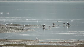 Eagles Feeding on Salmon stock footage