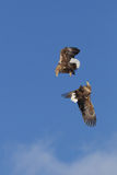 Eagles Fighting In Mid Air Royalty Free Stock Image