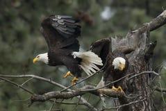 Eagles fliegt von der Niederlassung Lizenzfreie Stockfotos
