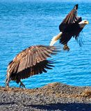 Eagles in flight. Eagles taking off by the ocean.n Royalty Free Stock Photography