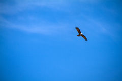 Eagles flying in the blue sky. Stock Image