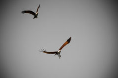 Eagles flying in leaden sky Royalty Free Stock Photography