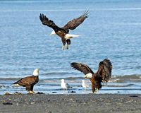 Eagles Getting Salmon Scraps. Katchemack Bay shoreline, American Bald eagles swooping in for salmon scraps Royalty Free Stock Photography