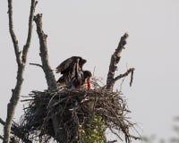 Eagles gniazdeczko Obraz Stock