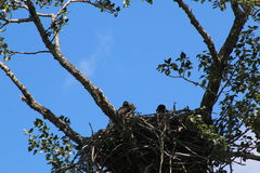 Eagles gniazdeczko Fotografia Royalty Free