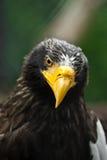 Eagles Hauptnahaufnahme Stockfotos