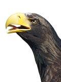 Eagles head Stock Image
