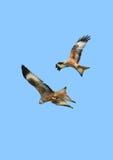 Eagles im Flug Lizenzfreie Stockbilder