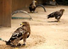 Eagles im ZOO Lizenzfreie Stockfotografie