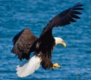 Eagles landing royalty free stock images