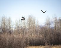 Eagles locking talons in autumn. Two bald eagles in a courtship display locking talons in the Chilkat Bald Eagle Preserve near Haines Alaska in fall while stock image