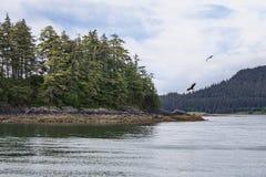 Eagles nell'Alaska sudorientale Immagini Stock
