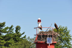 Eagles in the nest, Gananoque Royalty Free Stock Image