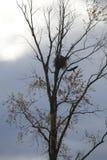 Eagles Nesting Stock Photos