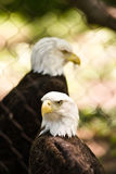Eagles. A pair of bald eagles behind a fence Stock Photos