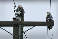 Eagles Power Pole Stock Image