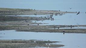 Eagles, río de Chehalis, Columbia Británica almacen de metraje de vídeo