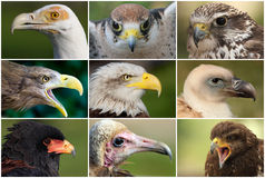 Eagles, raptors and vultures Royalty Free Stock Photos