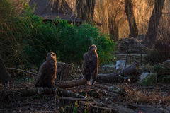The eagles rest on a fallen branch Royalty Free Stock Images