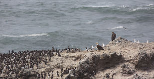 Eagles and seabirds on Colony Rock Stock Photos