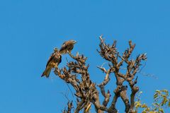 Eagles-Sitzplätze auf die Baumspitze lizenzfreie stockfotos