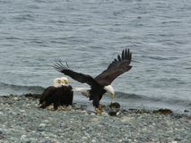 Eagles sur la plage Image stock