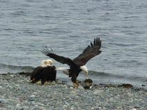 Eagles sur la plage Image stock