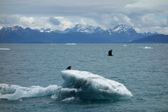 Eagles taking off from an iceberg in the ocean. Stock Photos