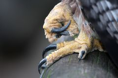 Eagles Talons Stock Photography