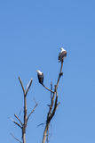 Eagles on a tree Stock Images