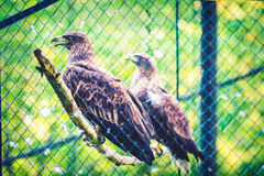 Eagles. Two eagles (Aquila chrysaetos) in a cage, zoo Stock Images