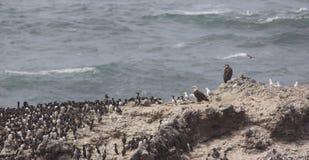 Eagles und Seevögel auf Kolonien-Felsen Stockfotos