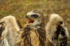 Eaglet Stock Photography