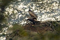 Eaglet erlernt zu fliegen Stockbilder