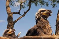 eaglets två fotografering för bildbyråer
