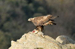 Eal eagle with a dead rock dam Stock Photography