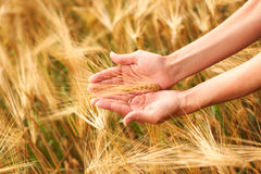 Hand holding wheat heads Royalty Free Stock Photo