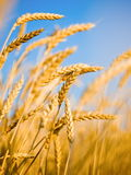 Ear. Gold(en) ear of the wheat on background blue sky Royalty Free Stock Photos