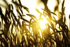 Ear. Gold(en) ear of the wheat on background sun in sundown Stock Image