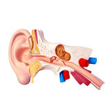 Ear. 3D illustration of Human Ear snstomy Stock Photo