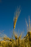 Ear. Of grain on a blue background stock photo