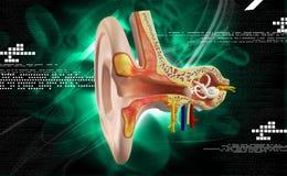 Ear anatomy Stock Photos