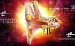 Ear anatomy Royalty Free Stock Photo