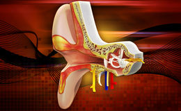 Ear anatomy Stock Images