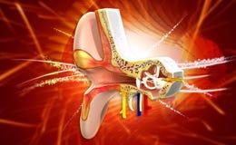 Ear anatomy Royalty Free Stock Photos