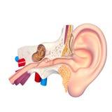 Ear anatomy cross section. 3d art illustration of ear anatomy cross section Stock Images
