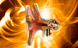 Ear anatomy Royalty Free Stock Photo