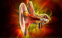 Ear anatomy Royalty Free Stock Images