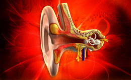 Ear anatomy Royalty Free Stock Photography