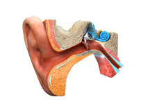 Ear anatomy royalty free illustration